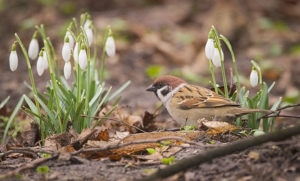 Tree sparrow (Passer montanus) foraging amongst blooming snowdrops.